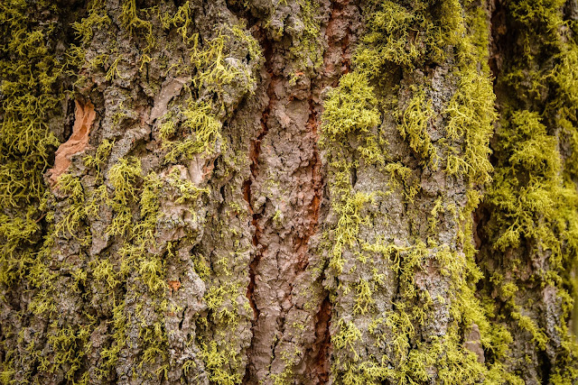 Cypress Tree Moss