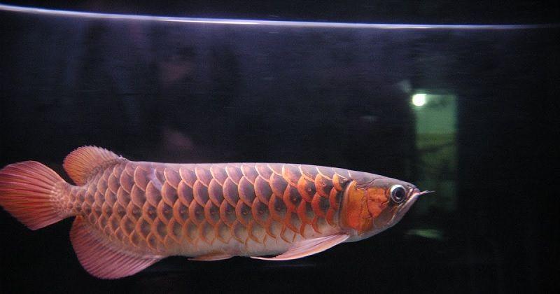 Gambar Manfaat Daun Ketapang Untuk Ikan Arwana