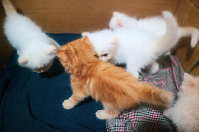 Pertama kali lepas adopsi kitten