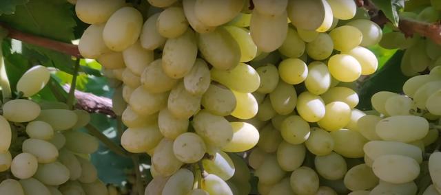 अंगूर खाने के 6 सबसे बड़े फायदे