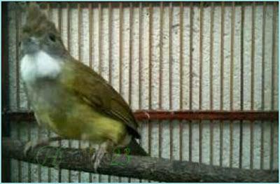 kali ini kita akan membahas salah satu jenis burung cucak Perawatan Harian Burung Cucak Jenggot
