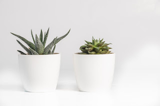 Two white ceramic pots containing Aloe Vera