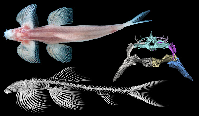 Skeletal study suggests at least 11 fish species are capable of walking