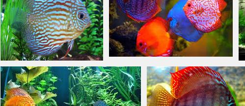 Ini Dia Jenis dan Harga Ikan Discus Termahal yang Mudah untuk Dipelihara