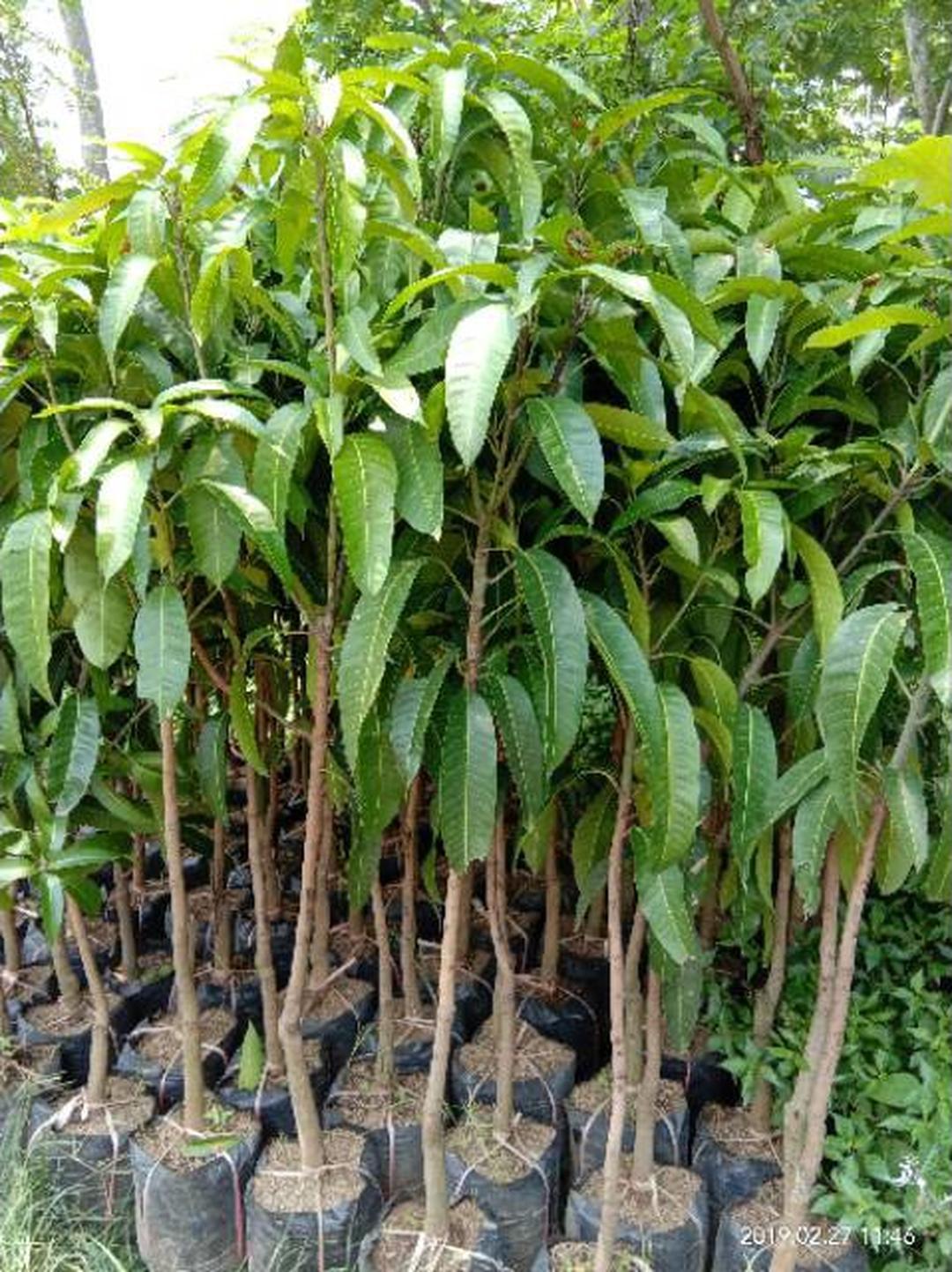 Jaminan Mutu! Bibit buah mangga alpukat Kota Bandung #bibit buah
