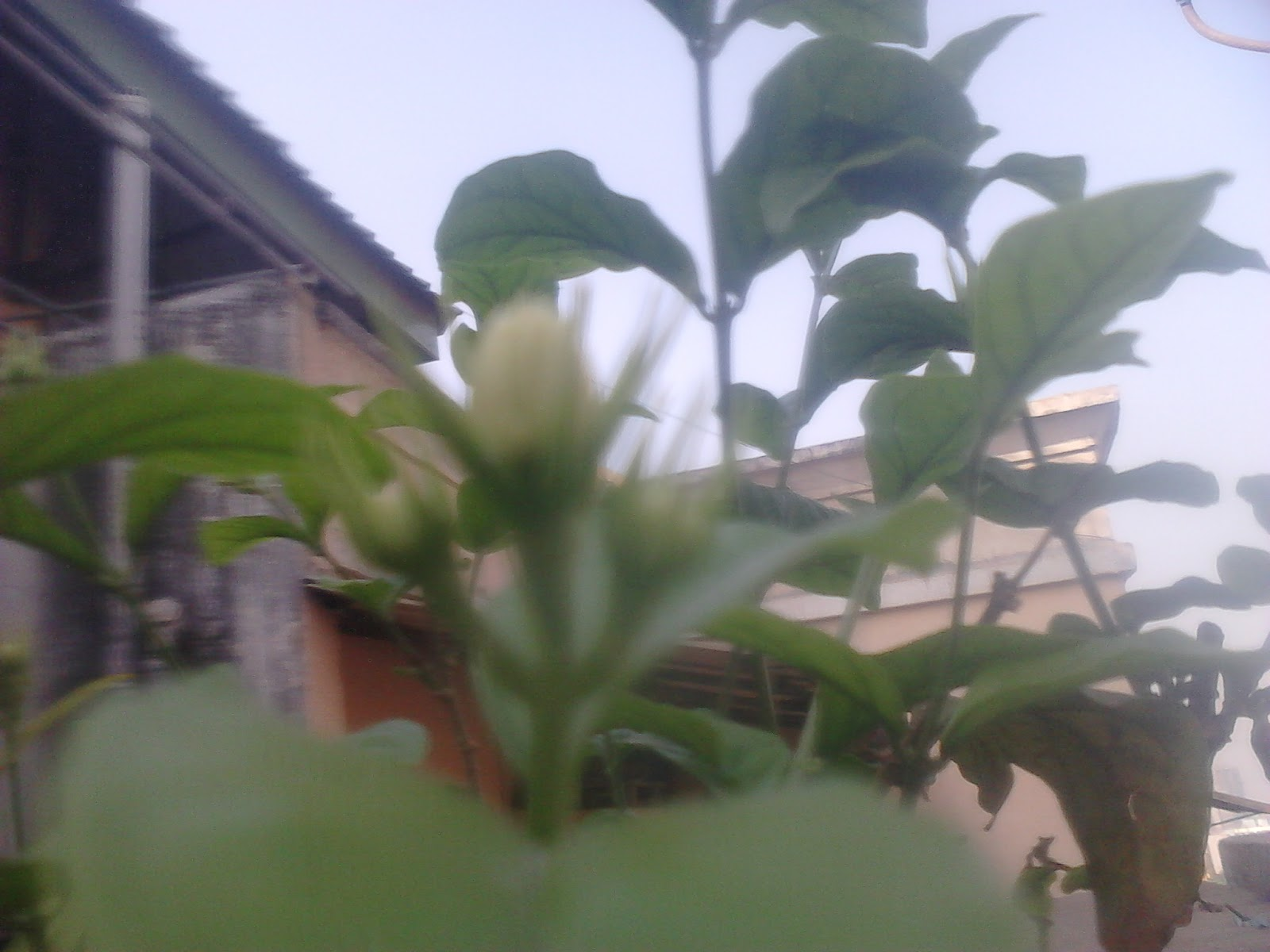 Garden Care Simplified Simple Flowering Tips For Mogra Flower Plant