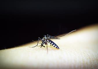infected mosquito dengue