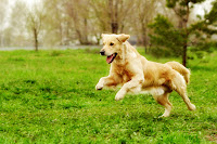 Guest posts by Kristi Benson at Companion Animal Psychology. Photo shows happy dog.