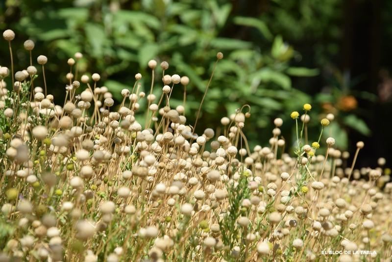 Helenium aromaticum. Manzanilla del cerro en Jardín Botánico Valencia