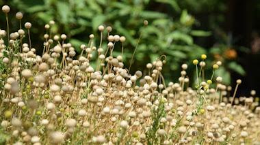 Helenium aromaticum. Una manzanilla chilena en el Jardín Botánico de Valencia
