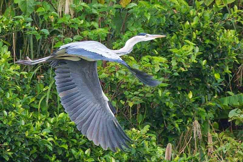bird, flight, Grey Heron