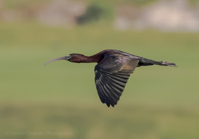 Glossy Ibis in flight over the Diep River, Woodbridge Island