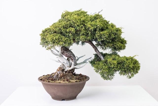 cuanto cuesta un bonsai kengai
