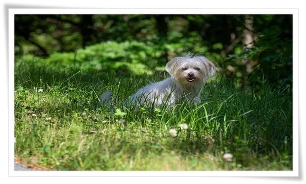 Dog Maltese