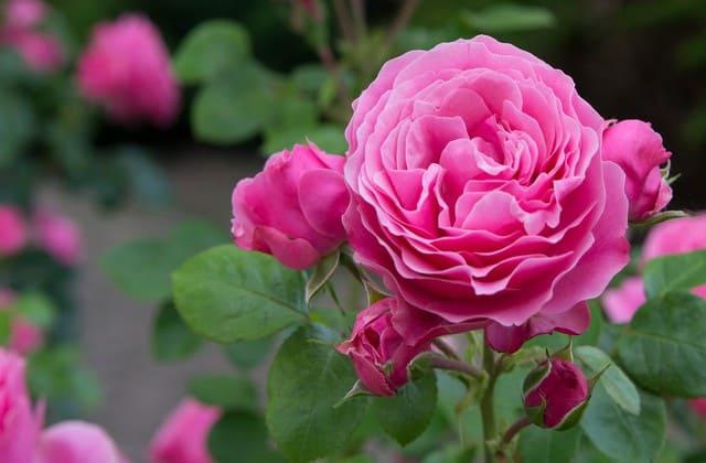 foto mawar pink yang indah menawan