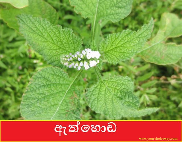 ඇත්හොඬ [Ethhoda] (Heliotropium Indicum) - Your Choice Way