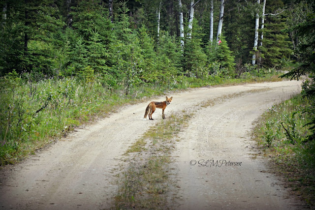 Stacy Petersen Photography - The Fox