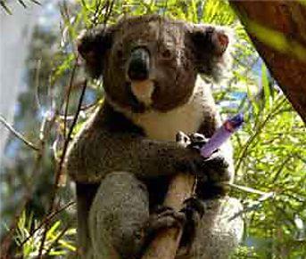 koala in gumtree smoking a joint