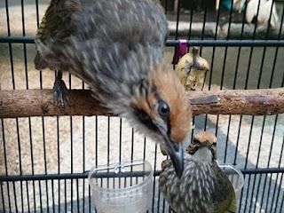 Burung Cucak Rowo - Mengetahui Kelas Suara Roppel atau Rovel atau Ngeropel Burung Cucak Rowo - Penangkaran Burung Cucak Rowo