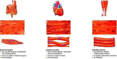 Letak jenis-jenis otot