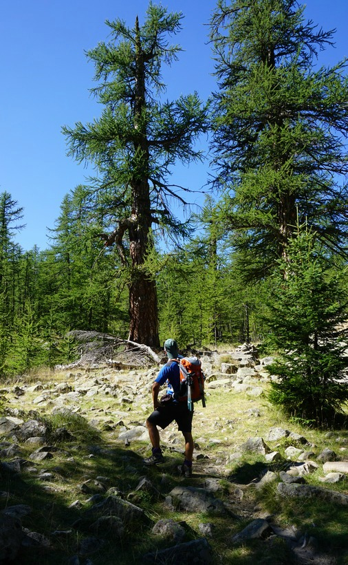 Two very old larch trees by the trail in Vallon de la Braisse