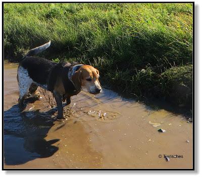 Beagle mit Stiefel