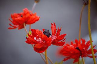 gambar bunga anemone