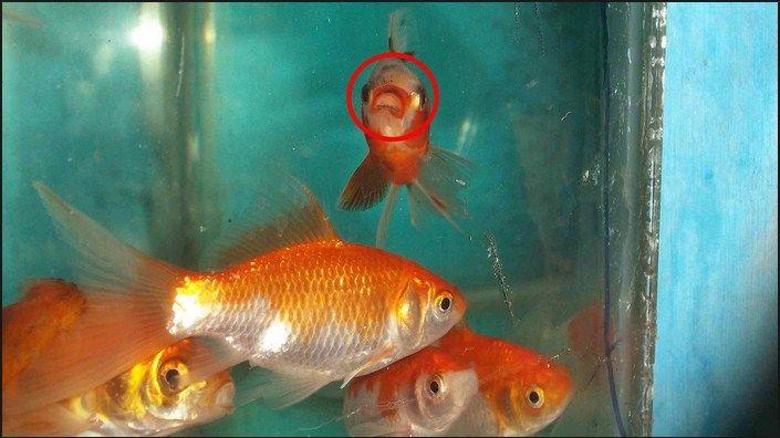 Cara Membedakan Ikan Komet Jantan Dan Betina Dengan Mudah