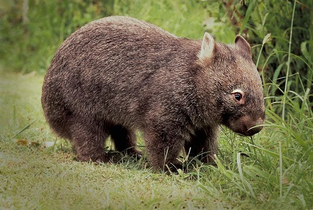 Vombatgiller (wombat) Hayvanı Hakkında Bilgi