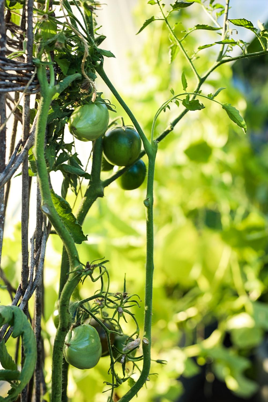 Kasvihuoneen-tomaattisato-100outdoor