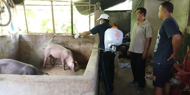 Kasus Kematian Babi di Bali Tembus 888 Ekor, Berikut Penjelasan Ditjen PKH