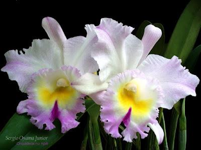 Orquídea Brassolaeliocattleya híbrida