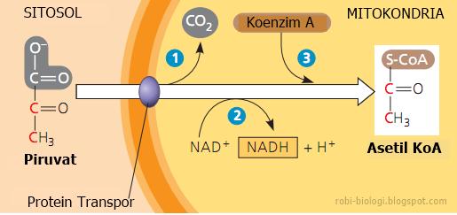 Proses Glikolisis Sebagai Metabolisme Karbohidrat