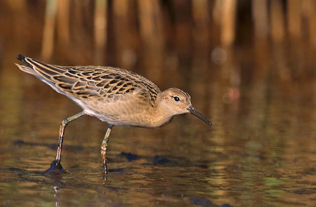 Biebrzański Park Narodowy Ptaki