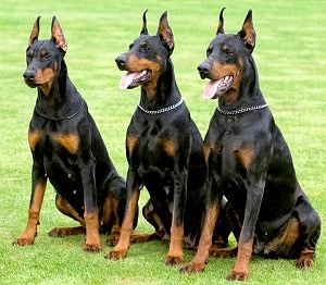Everything about your Doberman Pinscher