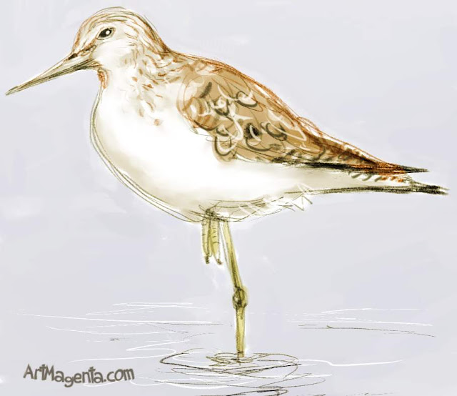 Greenshank  sketch painting. Bird art drawing by illustrator Artmagenta.