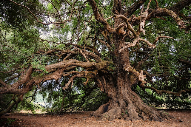 شجرة عمرها اللاف السنين