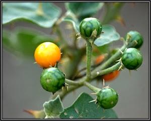Bush Tomato, Indian Nightshade 25 Seeds Solanum Indicum Seeds African Eggplant
