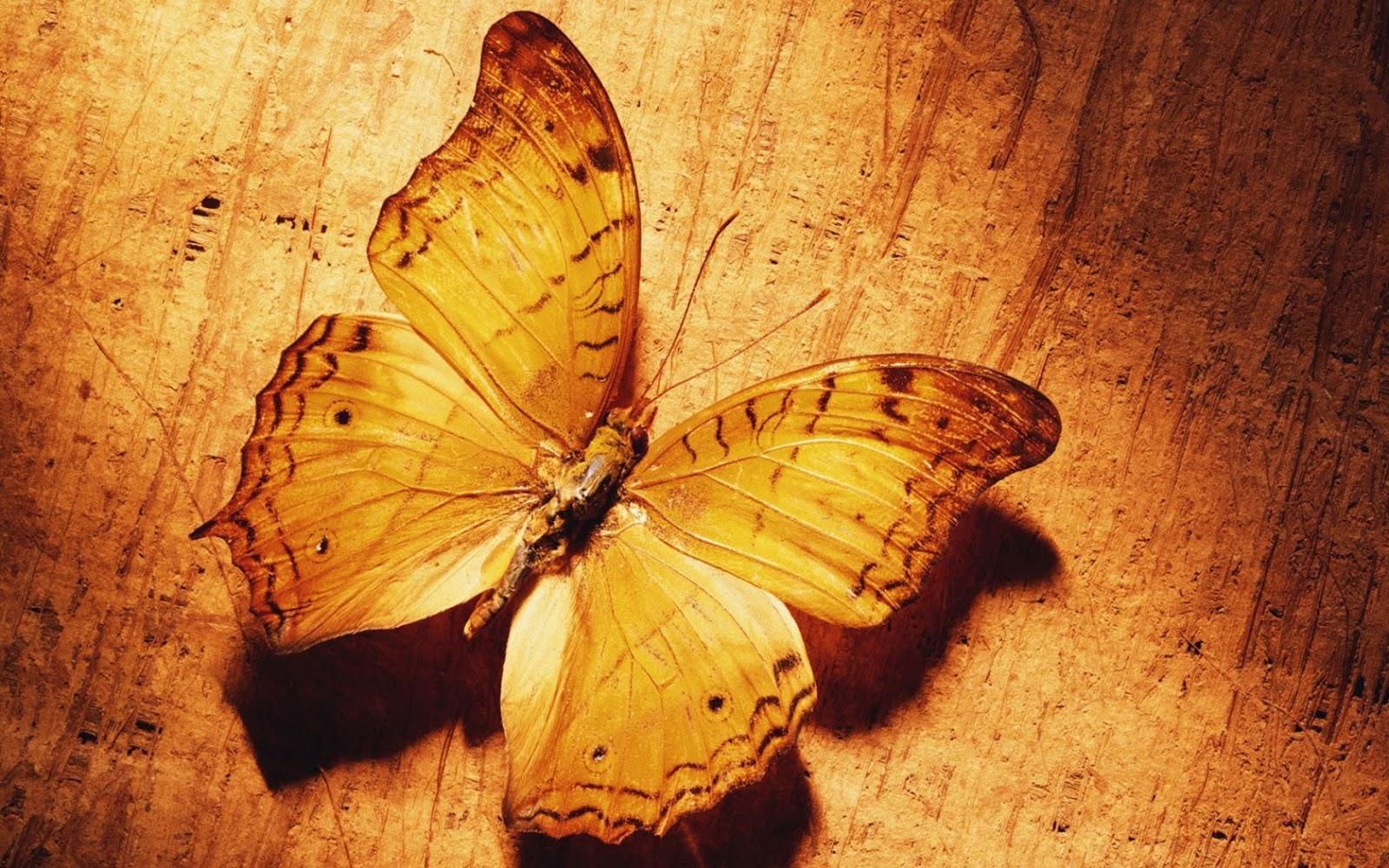 Hd Wallpapers Butterfly Hd Wallpaper Latest