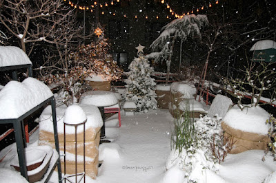 "This image features my garden during a snowstorm that occurred on 12-16-2020. At least eight inches of snow had probably fallen when the picture was taken and it can be sen piled up on various surfaces of my garden (the floor, the shelving, the planters etc). The ""scene"" looks like a bunch of white cakes sitting outside. Snow was also still falling when the photo was taken.    To the left of the photo at the back (or top of the picture) my contorted hazel nut (a shrub) is located and his branches have been decorated with white Christmas lights. There is a replica in the form of a light fixture) of The Star of Bethlehem  atop the shrub. Contorted hazelnuts bear the latin name of Harry's Walking Stick.  To the left of this shrub, I have a Christmas tree who is decorated with white lights and has an ""average"" star as her tree topper. To her left (or in the upper right hand corner of the image) is where my Larch is located. There are string lights hanging above my garden. My garden is the setting for my three volume book series, ""Words In Our Beak."" You can read about these books in another blog post @ https://www.thelastleafgardener.com/2018/10/one-sheet-book-series-info.html"