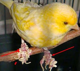 Mengatasi Penyakit Jamur Pada Burung Kenari