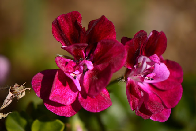 pelargonium, ivy leaved, geranium, small sunny garden, desert garden, amy myers