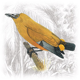 Pássaro-Boi (Perissocephalus tricolor)