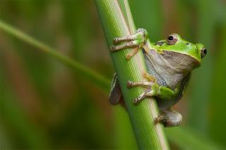 Italian tree frog