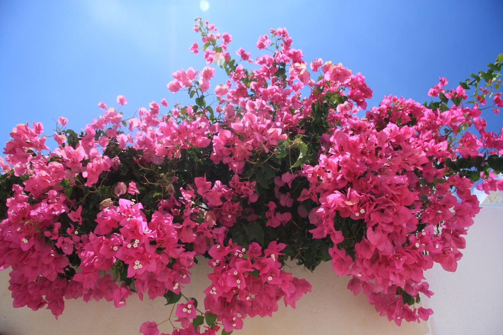 penjelasan seputar  bunga bougenville