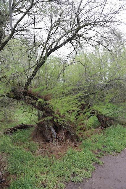 Isla del Pan -  Bosque de tarayes - Tablas de Daimiel