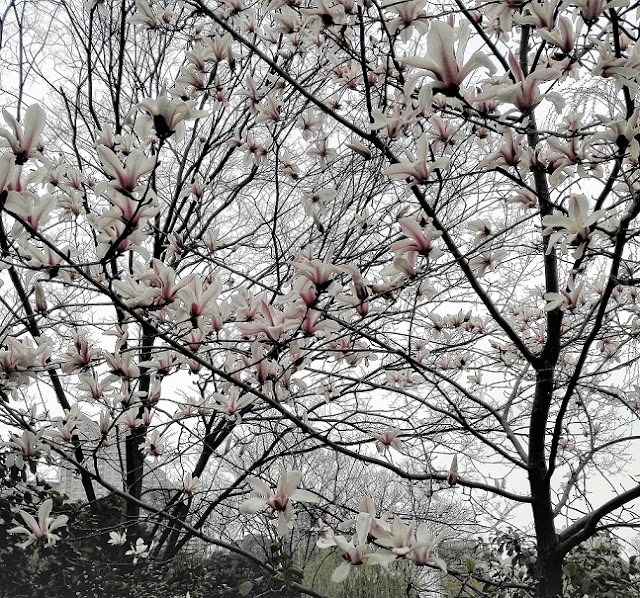上海の公園に咲くモクレン