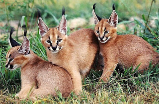 Apa itu Kucing Caracal? Ketahui Fakta Uniknya Berikut Ini