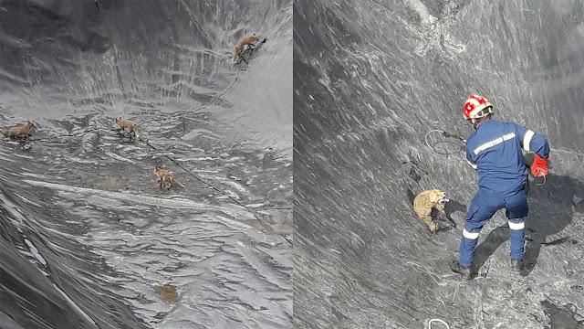 Τέσσερις αλεπουδίτσες εγκλωβιστηκαν σε δεξαμενή - Επιχείρηση διάσωσης από την πυροσβεστική