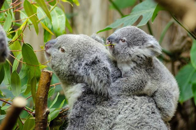 Koalas podrían extinguirse en el este de Australia